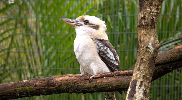 Those Krazy Kookaburras!
